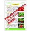 云南章姬草莓苗种植技术