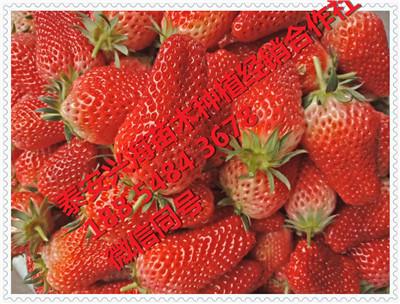 宝交草莓苗品种齐全
