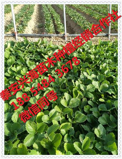 天使之恋草莓苗秧苗直销价格