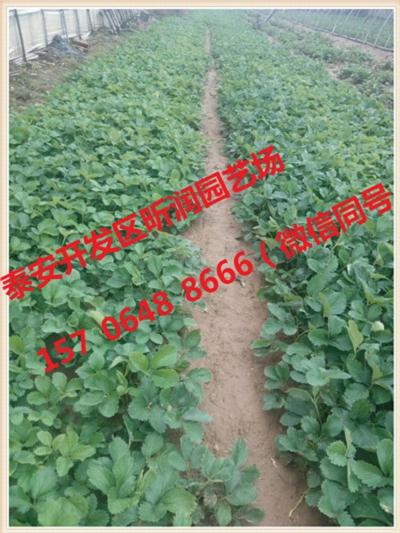 达娜草莓苗存活率高