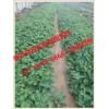 河南白草莓苗现货销售