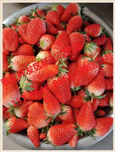 以色列二号草莓苗值得信赖
