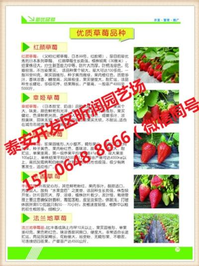 明宝草莓苗几年结果