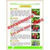 日本99草莓苗基地图片