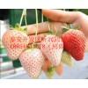 湖北天使之恋草莓苗现货销售