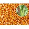 饲料厂常年现款求购玉米
