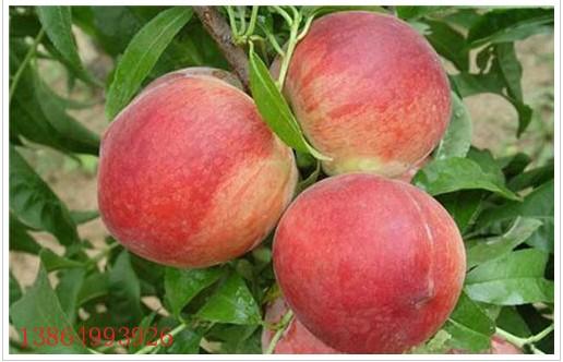 赤峰梨树苗|翠冠梨苗种植基地拓展